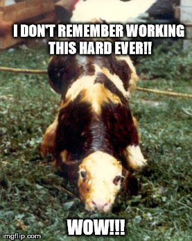 Hard Life | I DON'T REMEMBER WORKING THIS HARD EVER!! WOW!!! | image tagged in baby calf cute,hard work,real life | made w/ Imgflip meme maker