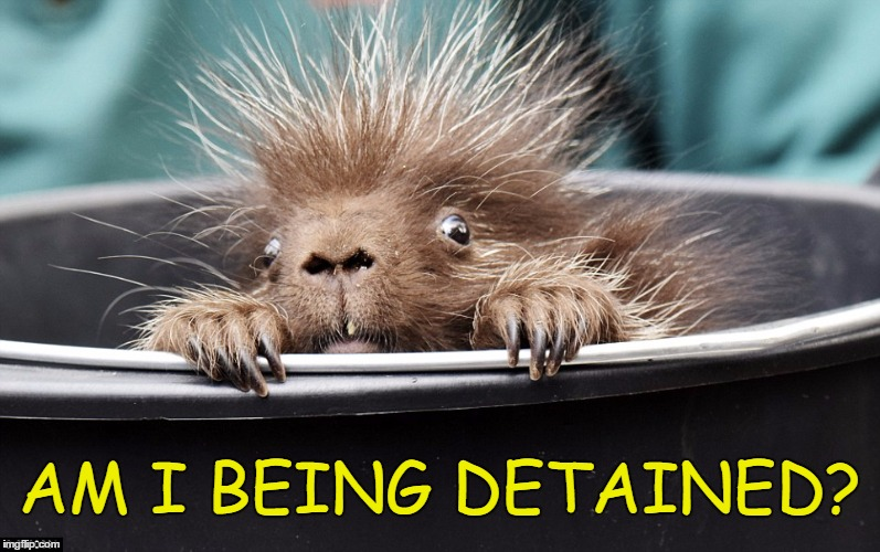 Porcupine Detention | AM I BEING DETAINED? | image tagged in libertarian,detained,porcupine,memes,funny,police | made w/ Imgflip meme maker