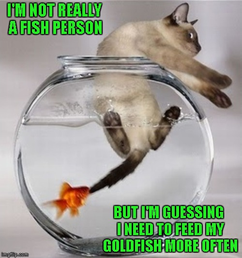 Fish are one kind of pet I've never had any success with...RIP little fishies!!! | I'M NOT REALLY A FISH PERSON BUT I'M GUESSING I NEED TO FEED MY GOLDFISH MORE OFTEN | image tagged in cat in fishbowl,memes,goldfish,funny,cats,animals | made w/ Imgflip meme maker
