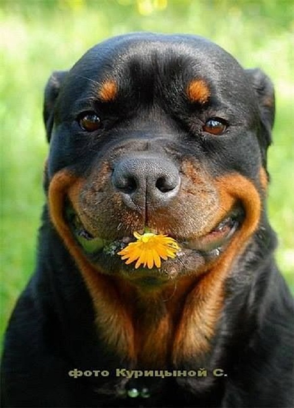 High Quality Most Funniest Rottweiler In The World Blank Meme Template