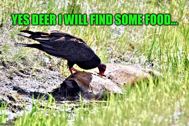 Vulture on carcass | YES DEER I WILL FIND SOME FOOD... | image tagged in bird food who knew,vulture,eating deer | made w/ Imgflip meme maker
