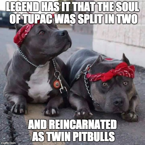 Thats just the way it is... | LEGEND HAS IT THAT THE SOUL OF TUPAC WAS SPLIT IN TWO AND REINCARNATED AS TWIN PITBULLS | image tagged in pitbulls,memes,funny memes,funny,dogs | made w/ Imgflip meme maker