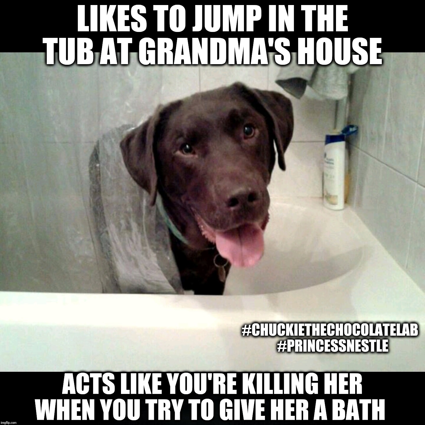 Like to jump into the tub at grandma's house  | LIKES TO JUMP IN THE TUB AT GRANDMA'S HOUSE ACTS LIKE YOU'RE KILLING HER WHEN YOU TRY TO GIVE HER A BATH #CHUCKIETHECHOCOLATELAB  #PRINCESSN | image tagged in chuckie the chocolate lab,princess nestl,funny,dogs,memes,labrador | made w/ Imgflip meme maker