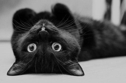 Cute Black Cat Blank Template Imgflip