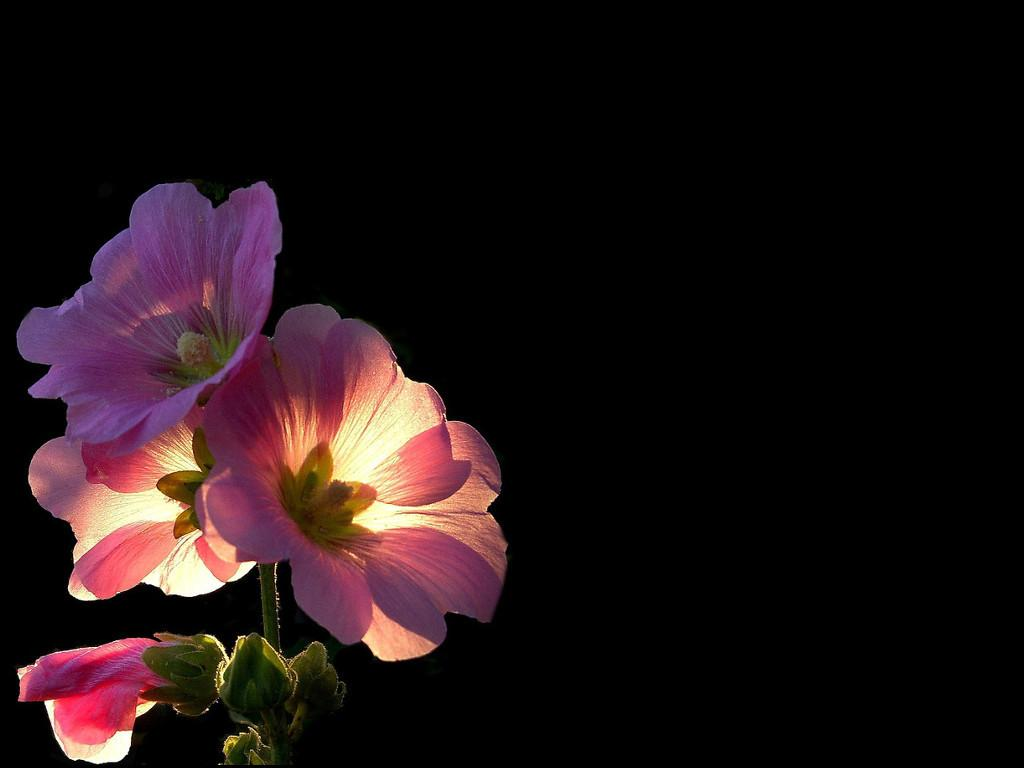 Pink Flowers Black Background Blank Template Imgflip