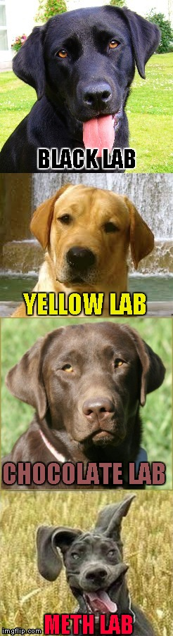 Not even once people!!! |  BLACK LAB; YELLOW LAB; CHOCOLATE LAB; METH LAB | image tagged in labs,memes,funny dogs,dogs,not even once,funny | made w/ Imgflip meme maker