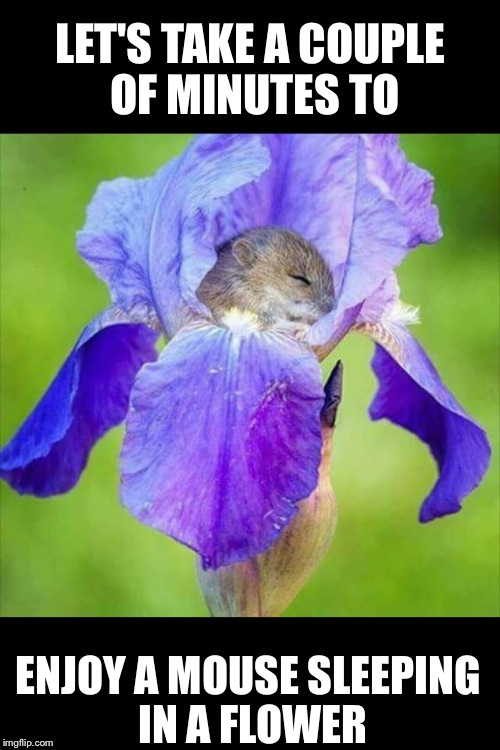 LET'S TAKE A COUPLE OF MINUTES TO ENJOY A MOUSE SLEEPING IN A FLOWER | image tagged in mouse sleeping in a flower | made w/ Imgflip meme maker