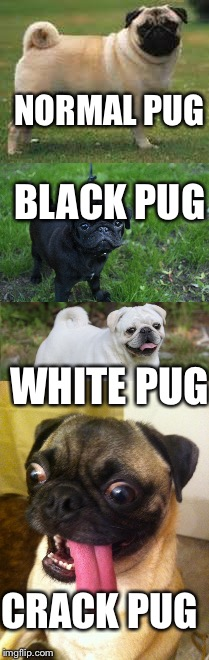 Types of pugs | NORMAL PUG BLACK PUG WHITE PUG CRACK PUG | image tagged in pugs,pug,memes,crack | made w/ Imgflip meme maker