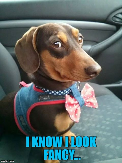 Dachshund week - a Juicydeath event | I KNOW I LOOK FANCY... | image tagged in memes,dachshund week,animals,dogs,dachshunds | made w/ Imgflip meme maker