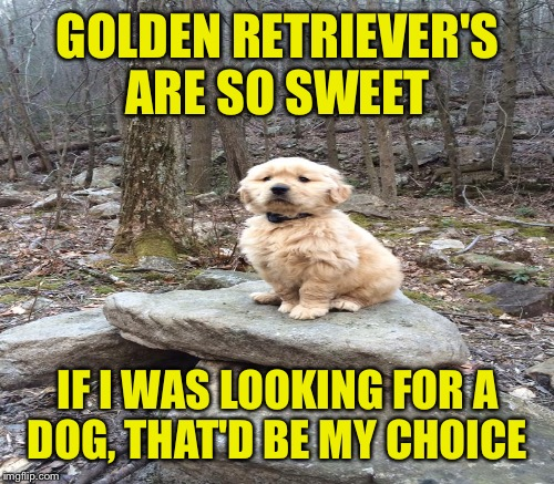 GOLDEN RETRIEVER'S ARE SO SWEET IF I WAS LOOKING FOR A DOG, THAT'D BE MY CHOICE | made w/ Imgflip meme maker