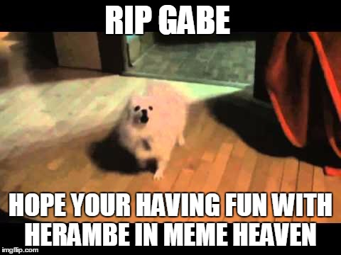 Gabe the dog | RIP GABE HOPE YOUR HAVING FUN WITH HERAMBE IN MEME HEAVEN | image tagged in gabe the dog | made w/ Imgflip meme maker