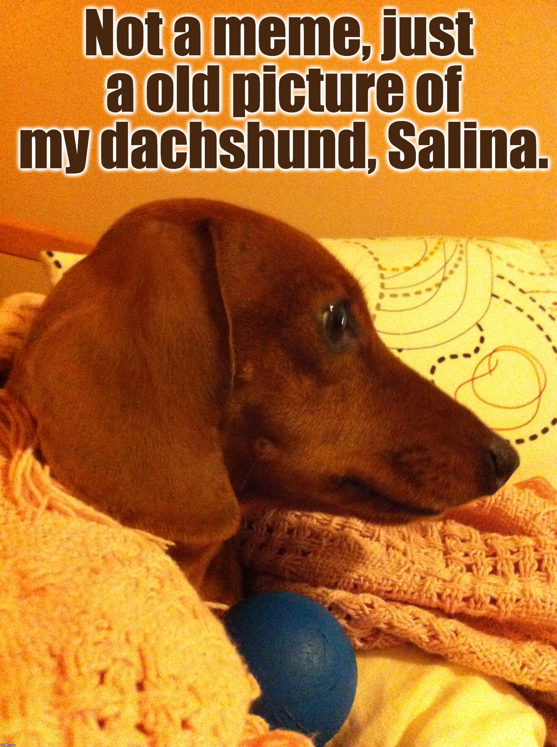 With Her Favorite Blue Ball [Picture Taken On January 7, 2013]. | Not a meme, just a old picture of my dachshund, Salina. | image tagged in memes,dachshund week,funny,salina,juicydeath1025,dachshund | made w/ Imgflip meme maker