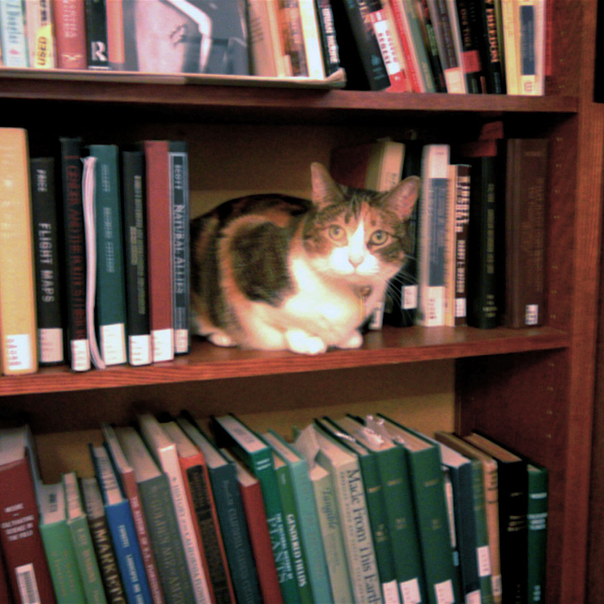 Bookshelf Cat Blank Template