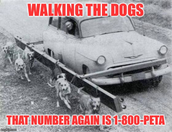 Things no one can make up | WALKING THE DOGS THAT NUMBER AGAIN IS 1-800-PETA | image tagged in dogs walking,car,peta,funny,strange,memes | made w/ Imgflip meme maker