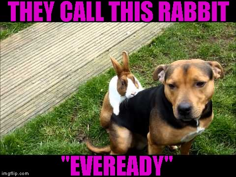 "THEY CALL THIS RABBIT ""EVEREADY"" 