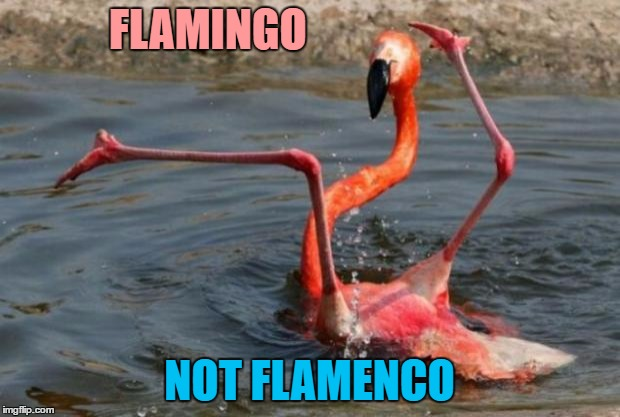 I forgot how to flamingo... | FLAMINGO NOT FLAMENCO | image tagged in flamingo fail,memes,animals,bitrds,dancing,flamingo | made w/ Imgflip meme maker