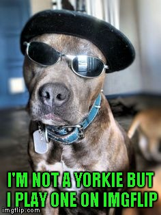 I'M NOT A YORKIE BUT I PLAY ONE ON IMGFLIP | made w/ Imgflip meme maker