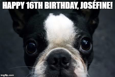 Boston Terrier |  HAPPY 16TH BIRTHDAY, JOSÉFINE! | image tagged in boston terrier | made w/ Imgflip meme maker