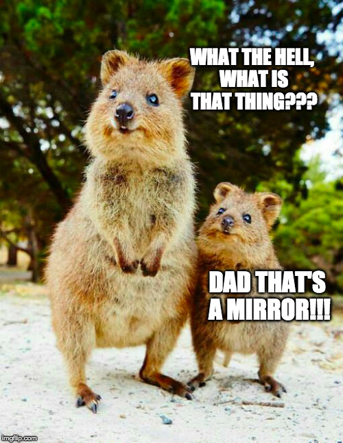 The Quokka...looks like a groundhog and a kangaroo had offspring | WHAT THE HELL, WHAT IS THAT THING??? DAD THAT'S A MIRROR!!! | image tagged in funny animal,animal meme,meanwhile in australia,australia,happy quokka | made w/ Imgflip meme maker