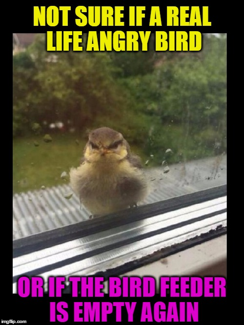 Real Life Angry Bird | NOT SURE IF A REAL LIFE ANGRY BIRD OR IF THE BIRD FEEDER IS EMPTY AGAIN | image tagged in memes,funny,angry birds,pets,animals,puns | made w/ Imgflip meme maker