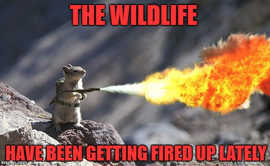 Flame War Squirrel | THE WILDLIFE HAVE BEEN GETTING FIRED UP LATELY | image tagged in flame war squirrel | made w/ Imgflip meme maker