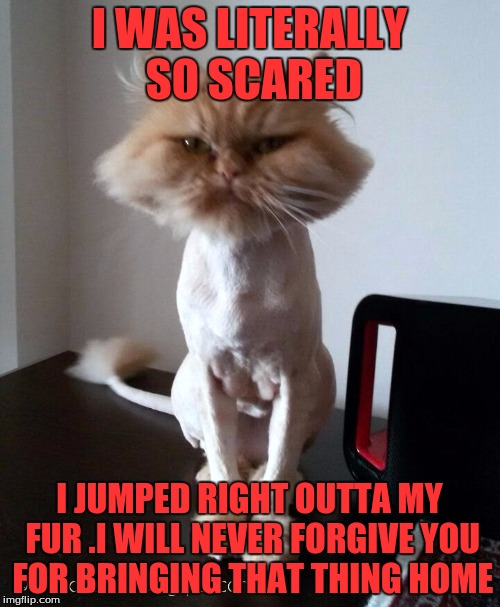 Shaved Pussy Cat | I WAS LITERALLY SO SCARED I JUMPED RIGHT OUTTA MY FUR .I WILL NEVER FORGIVE YOU FOR BRINGING THAT THING HOME | image tagged in shaved pussy cat | made w/ Imgflip meme maker