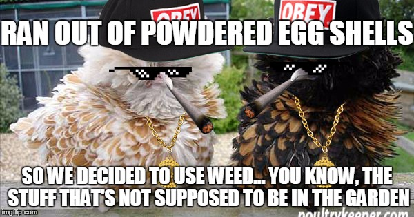 ... *ba dum tss* :D | RAN OUT OF POWDERED EGG SHELLS SO WE DECIDED TO USE WEED... YOU KNOW, THE STUFF THAT'S NOT SUPPOSED TO BE IN THE GARDEN | image tagged in stoned chickens,memes,funny,weed,gangsta,thug | made w/ Imgflip meme maker