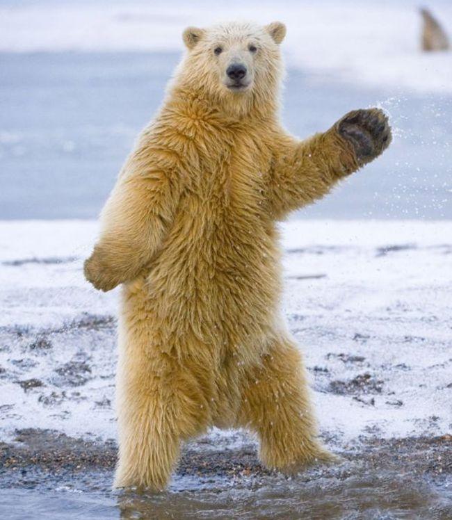 Polar Bear Blank Template Imgflip