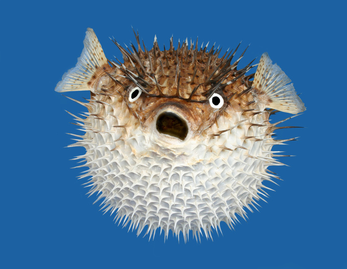 porcupine fish blank template imgflip