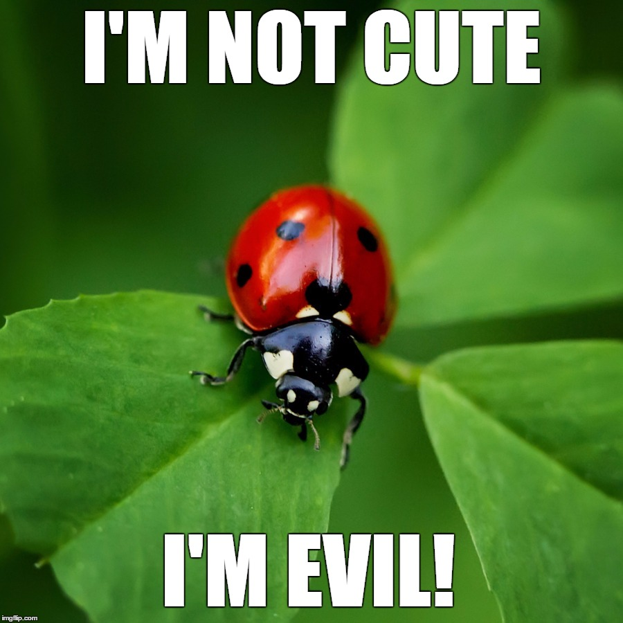 Ladybug |  I'M NOT CUTE; I'M EVIL! | image tagged in ladybug | made w/ Imgflip meme maker
