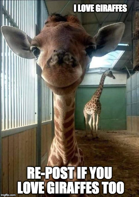 The newest arrival at the Baltimore Zoo | I LOVE GIRAFFES RE-POST IF YOU LOVE GIRAFFES TOO | image tagged in giraffe,giraffe baby,cute animals,zoo,cuteness overload | made w/ Imgflip meme maker