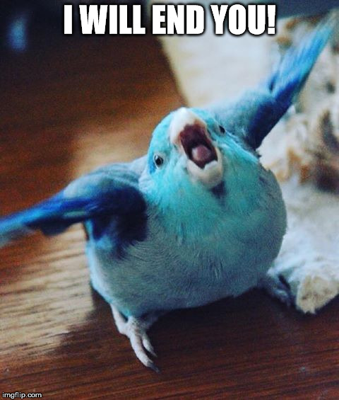 i will end you | I WILL END YOU! | image tagged in birb,blueberry chicken,dismayed parrot,anger | made w/ Imgflip meme maker