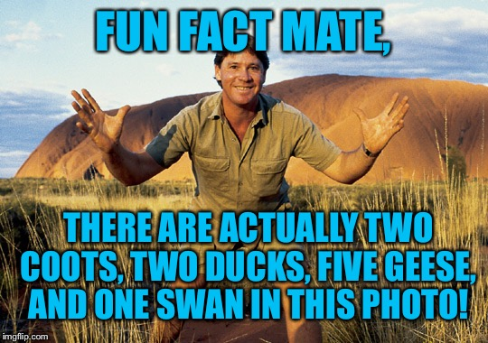 FUN FACT MATE, THERE ARE ACTUALLY TWO COOTS, TWO DUCKS, FIVE GEESE, AND ONE SWAN IN THIS PHOTO! | made w/ Imgflip meme maker