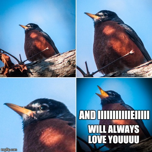 Whitney Robin | AND IIIIIIIIIIIEIIIII WILL ALWAYS  LOVE YOUUUU | image tagged in whitney houston,birds,i will always love you,singing,robin | made w/ Imgflip meme maker