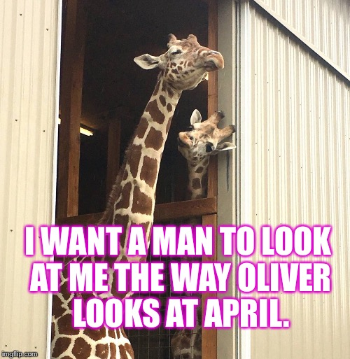 April and Oliver |  I WANT A MAN TO LOOK AT ME THE WAY OLIVER LOOKS AT APRIL. | image tagged in april,oliver,april the giraffe,oliver the giraffe,giraffe,pregnant giraffe | made w/ Imgflip meme maker