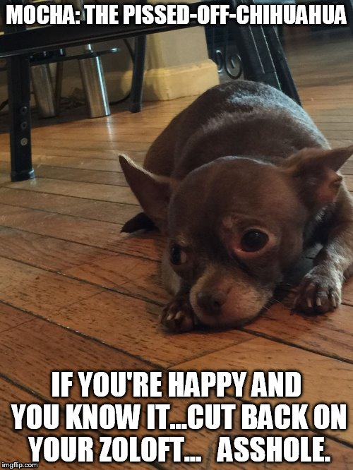 Mocha: The Pissed-Off-Chihuahua | MOCHA: THE PISSED-OFF-CHIHUAHUA IF YOU'RE HAPPY AND YOU KNOW IT...CUT BACK ON YOUR ZOLOFT...   ASSHOLE. | image tagged in funny,funny dogs,funny chihuahua,funny memes,chihuahua | made w/ Imgflip meme maker