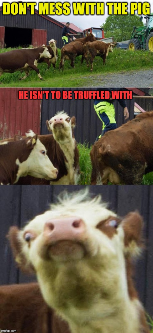 Bad pun cow  | DON'T MESS WITH THE PIG HE ISN'T TO BE TRUFFLED WITH | image tagged in bad pun cow | made w/ Imgflip meme maker