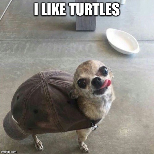 I like turtles... | I LIKE TURTLES | image tagged in funny,chihuahua,turtles | made w/ Imgflip meme maker