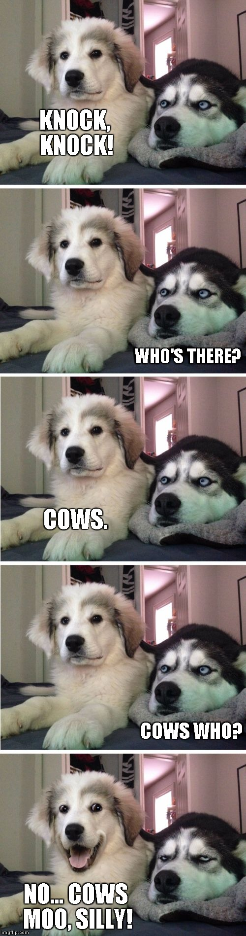 Knock Knock Dogs | KNOCK, KNOCK! NO... COWS MOO, SILLY! WHO'S THERE? COWS. COWS WHO? | image tagged in knock knock dogs | made w/ Imgflip meme maker