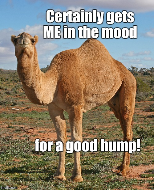 Certainly gets ME in the mood for a good hump! | image tagged in camel | made w/ Imgflip meme maker