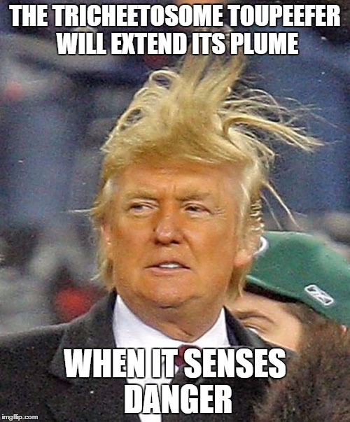 THE TRICHEETOSOME TOUPEEFER WILL EXTEND ITS PLUME WHEN IT SENSES DANGER | image tagged in tricheetosome toupeefer,president trump,donald trump,prez cheeto | made w/ Imgflip meme maker