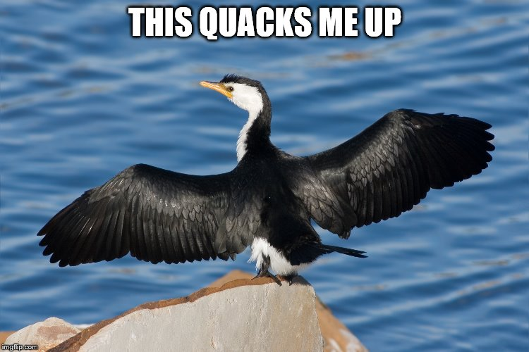 Duckguin | THIS QUACKS ME UP | image tagged in duckguin | made w/ Imgflip meme maker