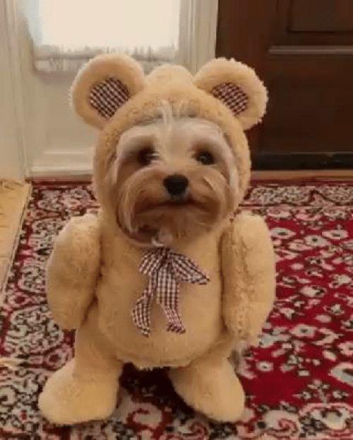 a73cd267568 Teddy Bear Yorkie · Teddy Bear Yorkie Meme Template