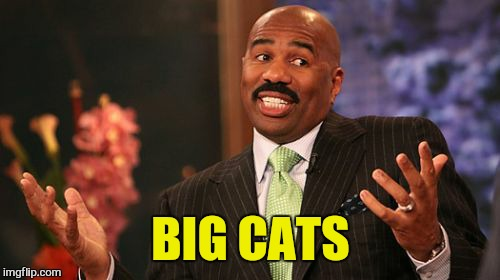 Steve Harvey Meme | BIG CATS | image tagged in memes,steve harvey | made w/ Imgflip meme maker