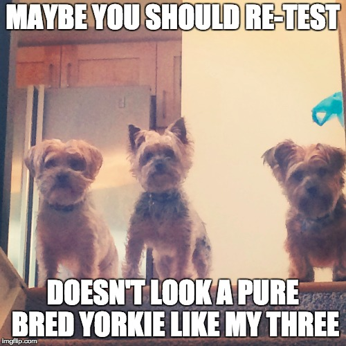 MAYBE YOU SHOULD RE-TEST DOESN'T LOOK A PURE BRED YORKIE LIKE MY THREE | made w/ Imgflip meme maker
