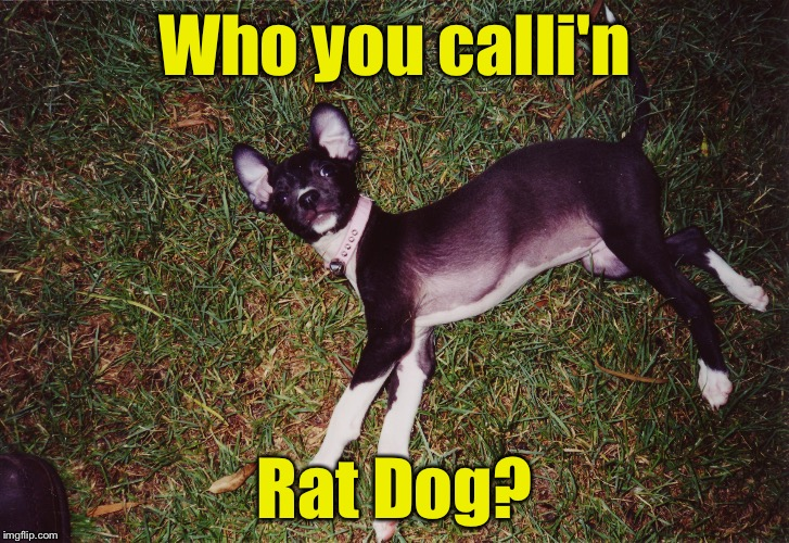 My rat dog, Shelby, when she was a puppy. (For Dog Week) | Who you calli'n Rat Dog? | image tagged in dog week,memes | made w/ Imgflip meme maker