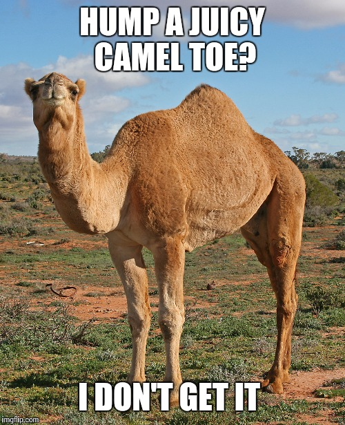 How to confuse a Camel | HUMP A JUICY CAMEL TOE? I DON'T GET IT | image tagged in funny meme,camel toe,camel | made w/ Imgflip meme maker