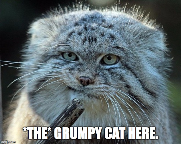 *THE* GRUMPY CAT HERE. | made w/ Imgflip meme maker