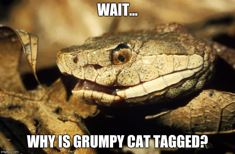 Realisation Snake | WAIT... WHY IS GRUMPY CAT TAGGED? | image tagged in realisation snake | made w/ Imgflip meme maker