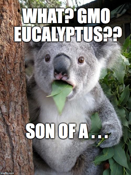 ...BITCH!! | WHAT? GMO EUCALYPTUS?? SON OF A . . . | image tagged in memes,surprised koala,gmo,funny,eucalyptus | made w/ Imgflip meme maker